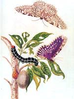 150px-metamorphosis_of_a_butterfly_merrian_1705.jpg