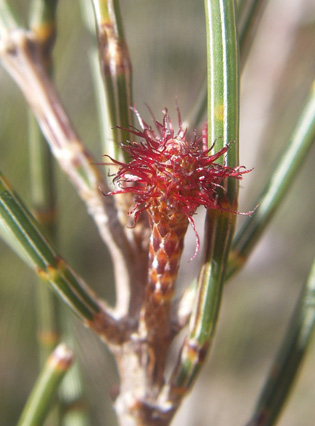 she oak-casuarina glauca